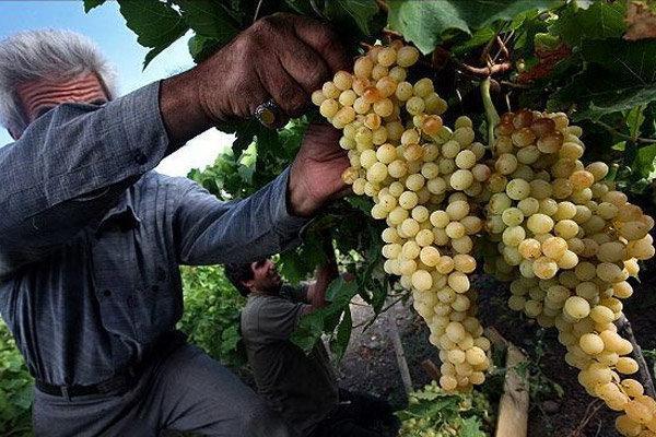سومین جشنواره انگور ارومیه شروع به کار کرد