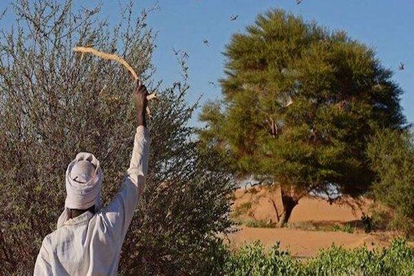 سازمان ملل: هجوم ملخ ها امنیت غذایی آفریقا را تهدید می کند