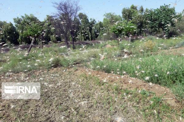خبرنگاران دیده بانی ملخ صحرایی در سطح 4میلیون و 700 هزار هکتار از مراتع انجام شد