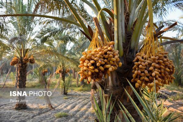 پیش بینی برداشت 235 هزار تن محصول از نخلستان های خوزستان